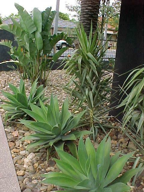 agave attenuata hello hello plants garden supplies. Black Bedroom Furniture Sets. Home Design Ideas