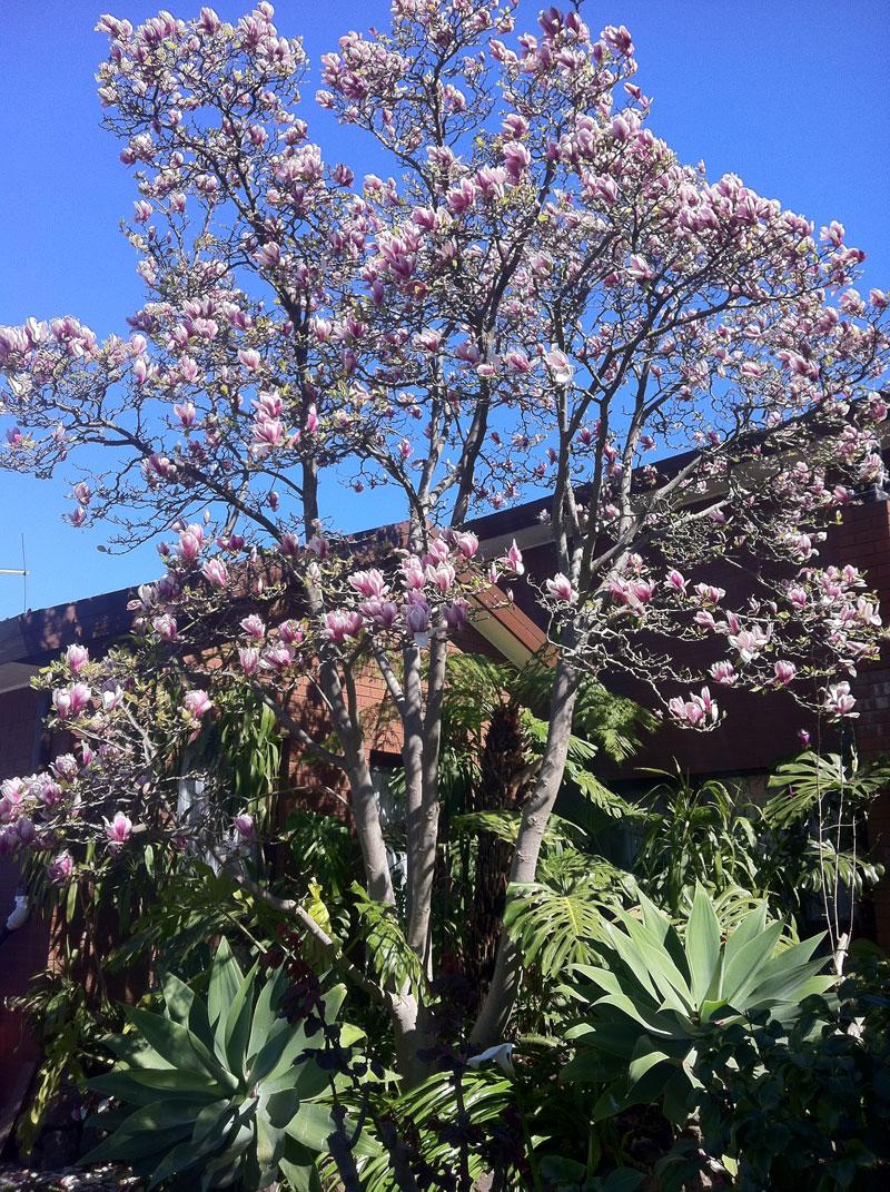 Magnolias Hello Hello Plants Garden Supplies