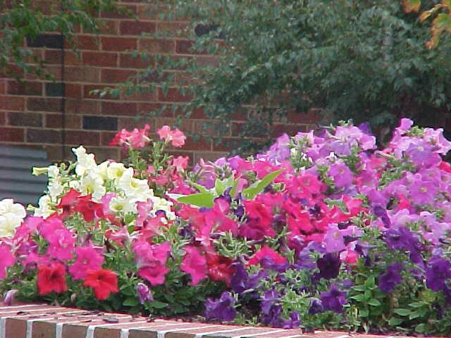 petunias hello hello plants garden supplies